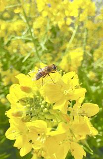 菜の花に蜂が🐝の写真・画像素材[1834024]