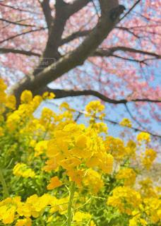 菜の花と河津桜🌸の写真・画像素材[1835290]
