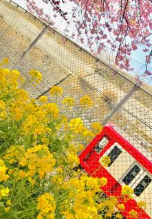 空,花,春,木,ピンク,緑,赤,電車,黄色,菜の花,鮮やか,フェンス,イエロー,グリーン,河津桜,3月,yellow,京浜急行,フォトジェニック,三浦市,インスタ映え