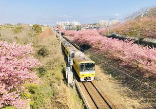 河津桜と京浜急行のイエロートレインの写真・画像素材[1835372]