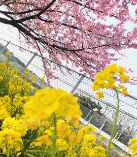 自然,空,花,春,木,ピンク,黄色,菜の花,鮮やか,お花見,フェンス,イエロー,河津桜,3月,yellow,フォトジェニック,三浦市,インスタ映え