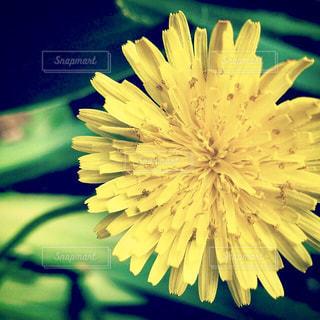 花,春,緑,黄色,一輪,鮮やか,たんぽぽ,イエロー,グリーン,yellow,タンポポ,ダンデライオン