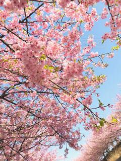 河津桜のピンクはとても綺麗🌸の写真・画像素材[1838707]