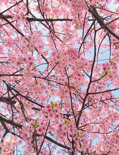 空,春,桜,木,ピンク,青空,枝,鮮やか,お花見,可愛い,河津桜,pink,3月,桜まつり,三浦市,インスタ映え
