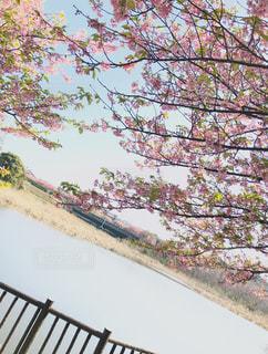 空,春,桜,木,ピンク,青空,枝,葉,池,お花見,河津桜,pink,3月,桜まつり,三浦市