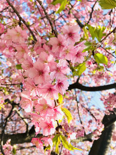 自然,空,花,桜,木,ピンク,青空,葉,お花見,快晴,河津桜,pink,3月,フォトジェニック,桜まつり,三浦市,インスタ映え