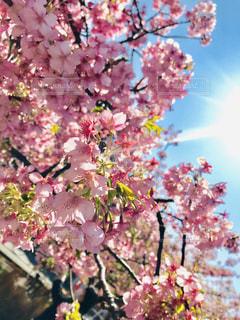 女性,自然,空,花,桜,ピンク,太陽,青空,撮影,光,お花見,快晴,pink,sun,フォトジェニック,写真を撮る人,桜まつり,三浦市,インスタ映え,写真を撮る女性