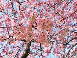 自然,空,花,桜,ピンク,青空,お花見,快晴,河津桜,pink,フォトジェニック,桜まつり,三浦市,インスタ映え