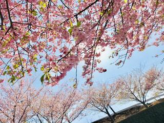 自然,空,花,桜,木,ピンク,太陽,青空,枝,日光,光,お花見,快晴,陽射し,河津桜,pink,フォトジェニック,桜まつり,三浦市,インスタ映え