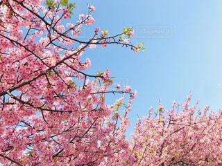 自然,空,花,春,木,ピンク,晴れ,青空,枝,葉,鮮やか,お花見,快晴,河津桜,3月,フォトジェニック,三浦市,インスタ映え