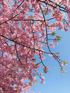 空,桜,ピンク,青空,枝,お花見,可愛い,快晴,河津桜,pink,桜まつり,三浦市