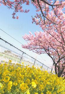 空,桜,ピンク,青空,枝,黄色,菜の花,お花見,フェンス,可愛い,快晴,河津桜,pink,線路沿い,桜まつり,三浦市