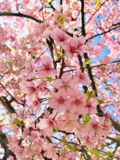空,桜,ピンク,青空,枝,お花見,可愛い,蕾,快晴,河津桜,pink,ツボミ,桜まつり,三浦市