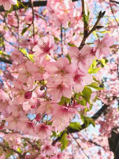 桜,ピンク,青空,枝,お花見,可愛い,快晴,河津桜,pink,ツボミ,桜まつり,三浦市