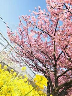空,桜,木,ピンク,青空,枝,黄色,菜の花,お花見,フェンス,可愛い,快晴,河津桜,pink,yellow,線路沿い,桜まつり,三浦市