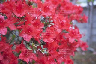 自然,花,雨,緑,赤,綺麗,水,葉っぱ,水滴,葉,鮮やか,水玉,雫,ツツジ,グリーン,red,しずく,草木
