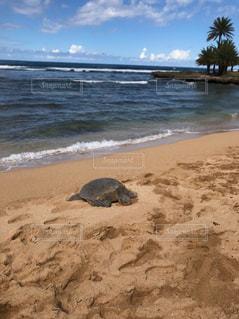 海,動物,屋外,砂,ビーチ,砂浜,ハワイ,カメ,亀