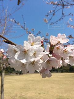自然,花,春,屋外,樹木,お花見,香川県,栗林公園,草木,桜の花,さくら,ブロッサム