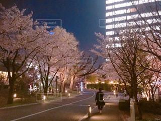 自然,花,春,桜,夜,屋外,夜桜,お花見,坂道,赤坂,さくら