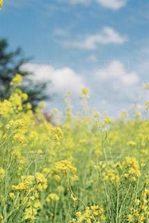 菜の花の写真・画像素材[1827480]