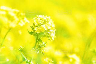 黄色い菜の花の写真・画像素材[1842762]