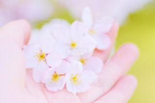 桜のアップの写真・画像素材[1859246]
