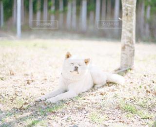 秋田犬の写真・画像素材[2466739]