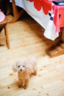 テーブルの前を歩く犬の写真・画像素材[2508764]
