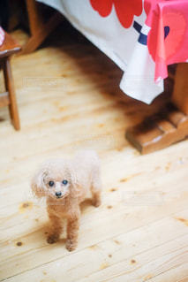 テーブルの前を歩く犬の写真・画像素材[2508766]