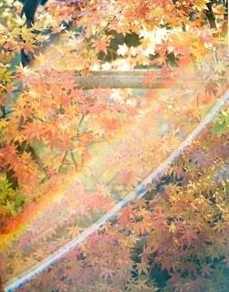 光が注ぐ紅葉の写真・画像素材[2619546]