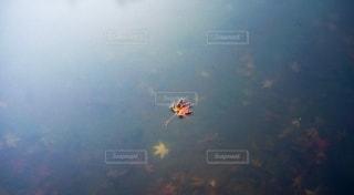 水に浮かぶ紅葉の写真・画像素材[2619561]