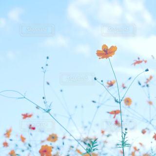 風景,空,花,コスモス,雲,青空,景色,秋空,巾着田,黄色いコスモス