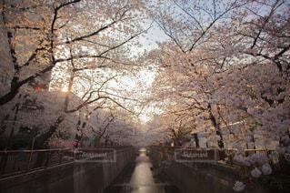 桜,朝焼け,目黒川,朝陽,中目黒,お花見スポット