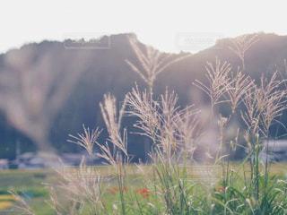 風景,屋外,草,ススキ,田園,彼岸花,秋空,背の高い