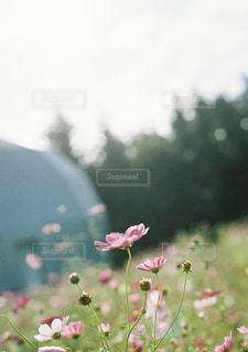 秋桜の写真・画像素材[1885753]