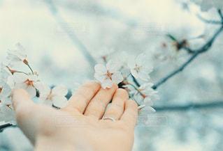 桜と手の写真・画像素材[2798097]