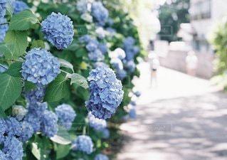 紫陽花の写真・画像素材[3381793]