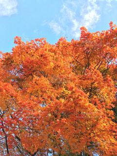 空,秋,紅葉,京都,美しい,秋空