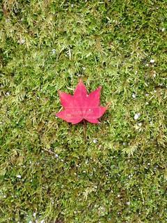 紅葉,京都,かわいい,葉っぱ,苔