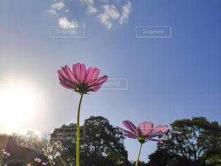 花,秋,太陽,コスモス,青空