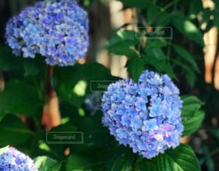 実家の紫陽花の写真・画像素材[2271777]