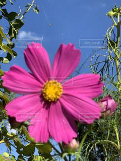 空,秋,ピンク,コスモス,カラフル,晴れ,青空,秋桜,青い,秋空,cosmos,インスタ映え