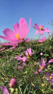 風景,花,秋,屋外,ピンク,植物,カラフル,青空,鮮やか,秋桜,コスモス畑,秋空,草木,cosmos