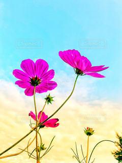風景,空,秋,庭,屋外,植物,コスモス,カラフル,雲,夕焼け,夕暮れ,夕方,鮮やか,美しい,秋桜,夕空,秋空,草木,インスタ映え