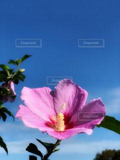 風景,空,花,秋,ピンク,植物,雲,青空,青い空,朝,flower,陽射し,ムクゲ,秋空,朝空,キレイ,我が家