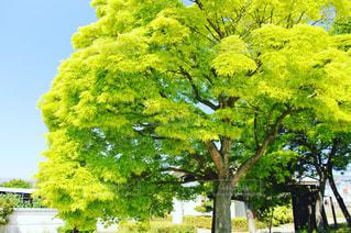 大きな木の写真・画像素材[1140072]