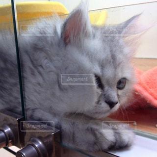 猫,動物,白,かわいい,ガラス,ふわふわ,ペット,子猫,人物,モフモフ,ガラス越し,シルバー,ネコ,ネコ科の動物