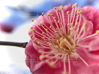 梅の花の写真・画像素材[3014238]