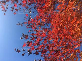 空,紅葉,青空,秋空,フォトジェニック