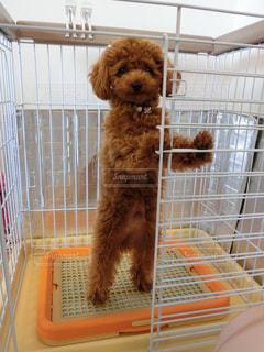 犬,屋内,茶色,プードル,トイプードル,仁王立ち,トイプー,ポーズ,見つめる,室内犬,小型犬,パピー,信頼,信頼関係